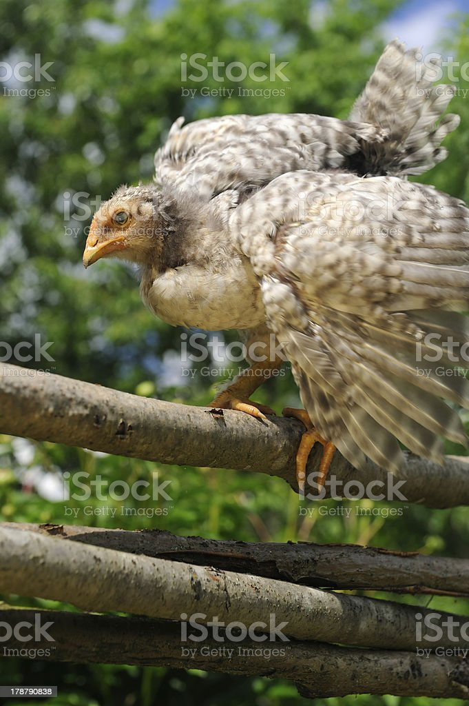 Chicken Dancing on Wicker Fence royalty-free stock photo