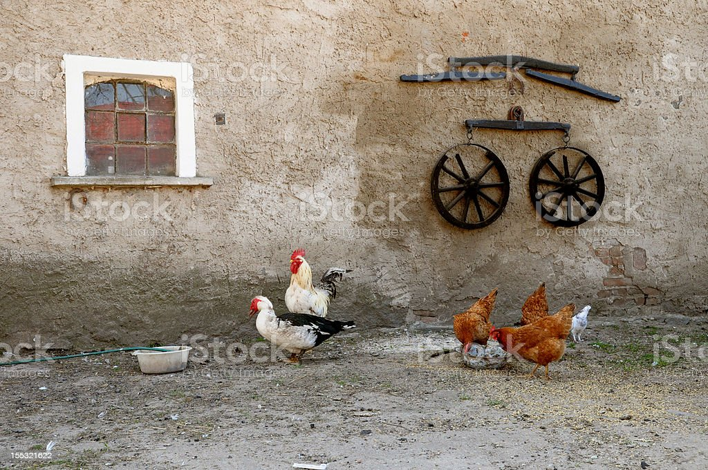 Chicken, duck and rooster royalty-free stock photo