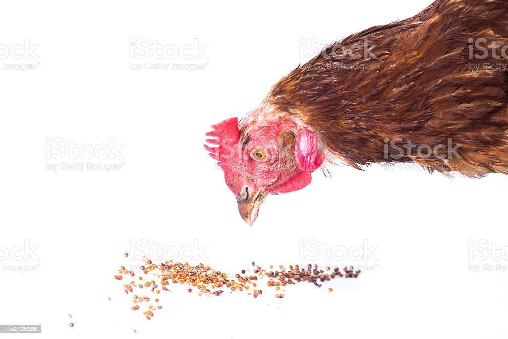 Chicken eating stock photo