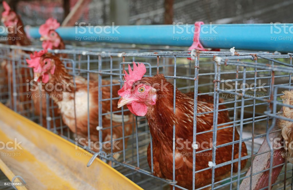 Chicken farm in Thailand , egg manufacture. stock photo