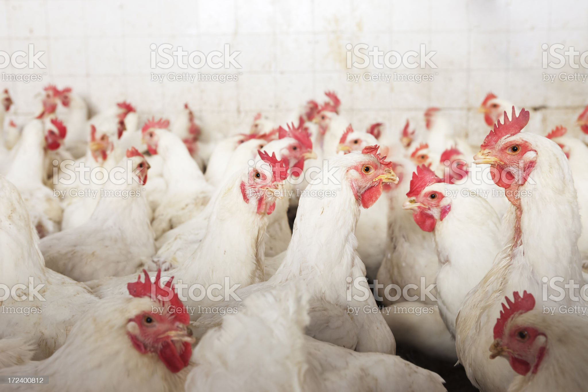 Chicken Farm royalty-free stock photo