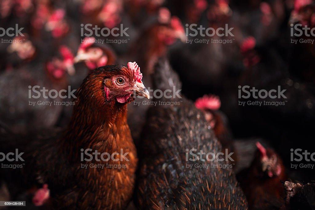 Chicken Farm stock photo