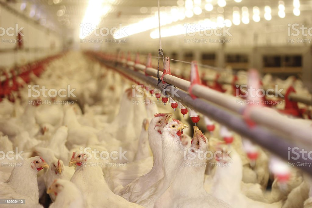 Chicken Farm, Poultry stock photo