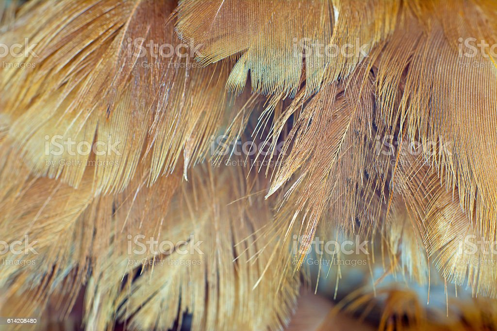 Chicken feather texture background stock photo