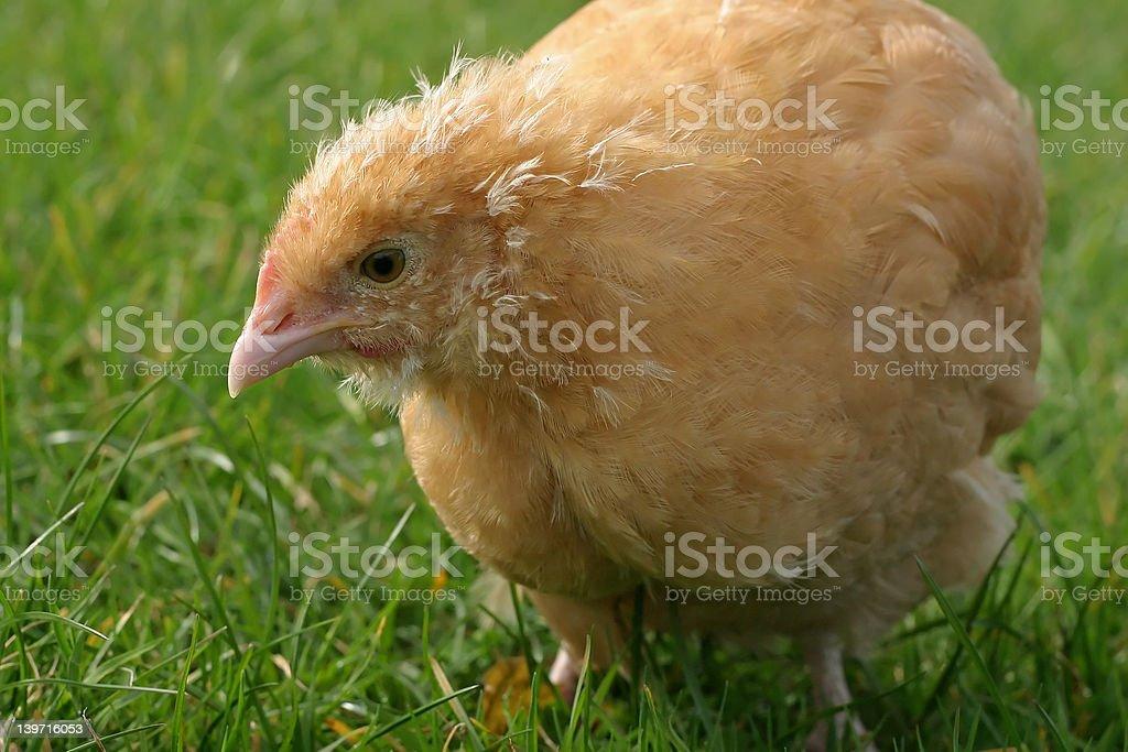 Chicken Feeding royalty-free stock photo
