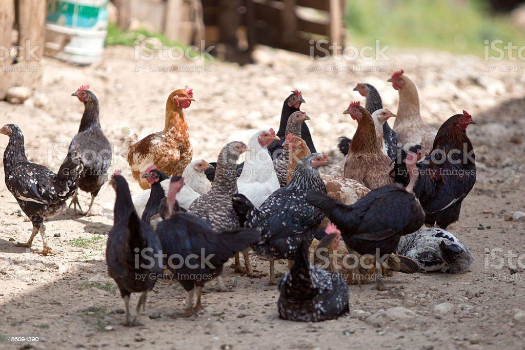 Chicken Flock stock photo