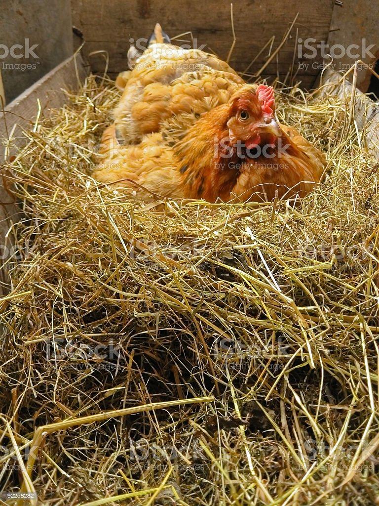 Chicken fowl nest stock photo
