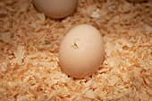 Chicken hatching from an egg