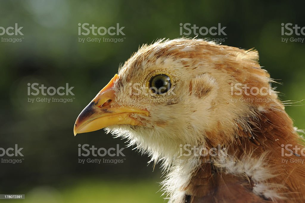 Chicken Head Close-Up royalty-free stock photo