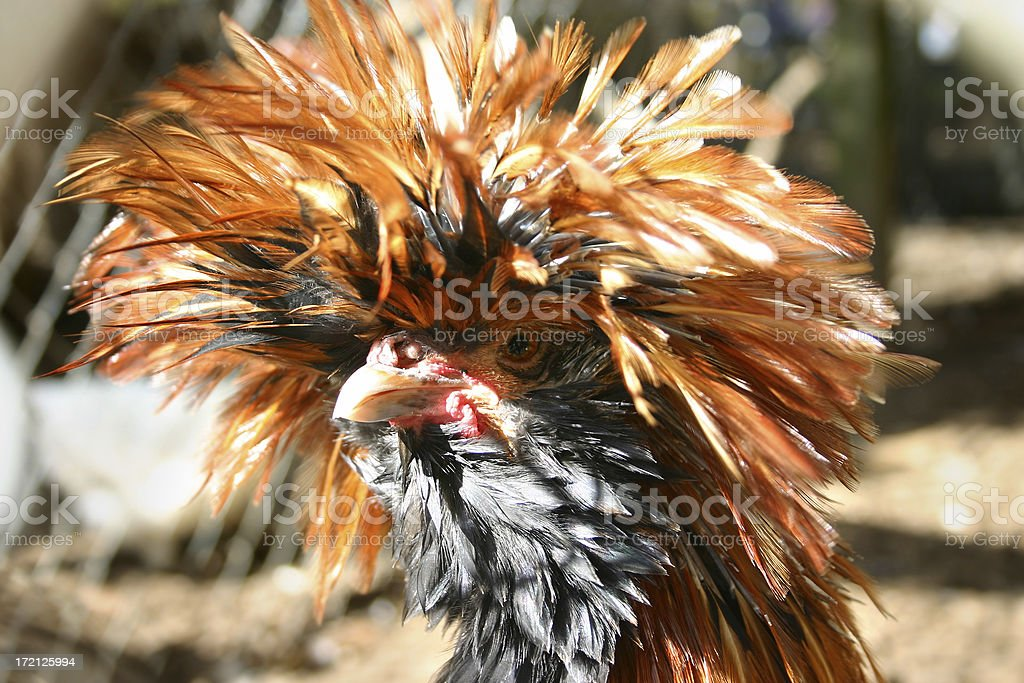 Chicken Head royalty-free stock photo
