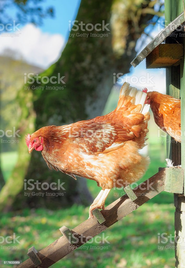 Chicken heading out of the coop stock photo