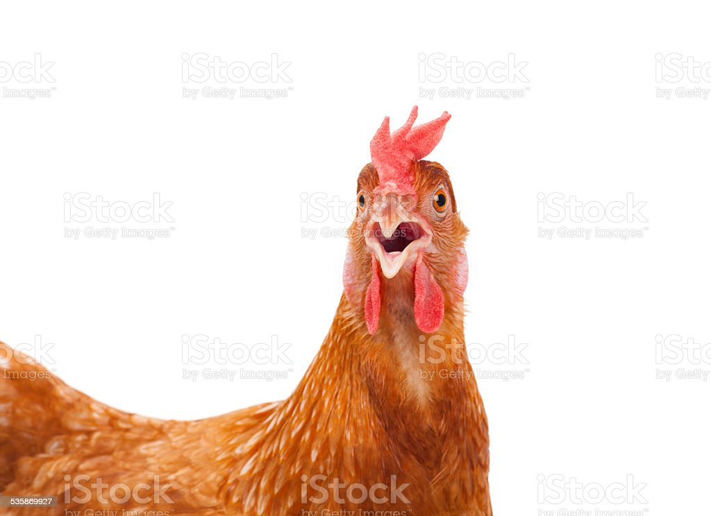 chicken hen shock and funny surprising stock photo