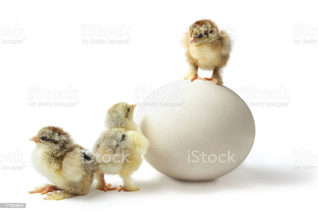 Chicken hierarchy royalty-free stock photo