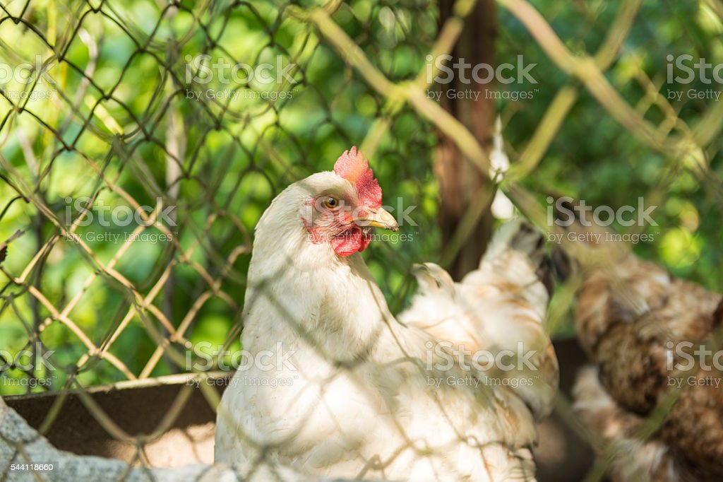 Chicken in a cage stock photo