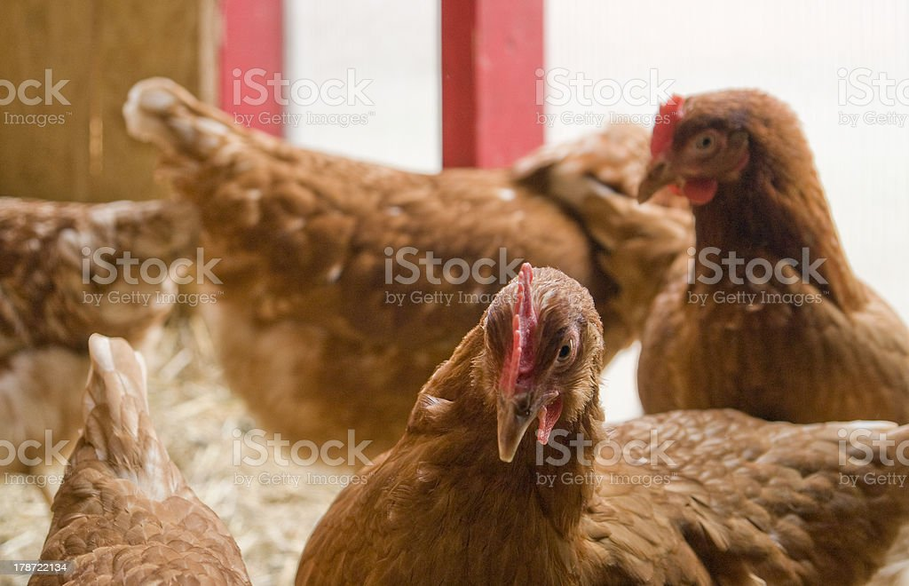 chicken in a hen house royalty-free stock photo