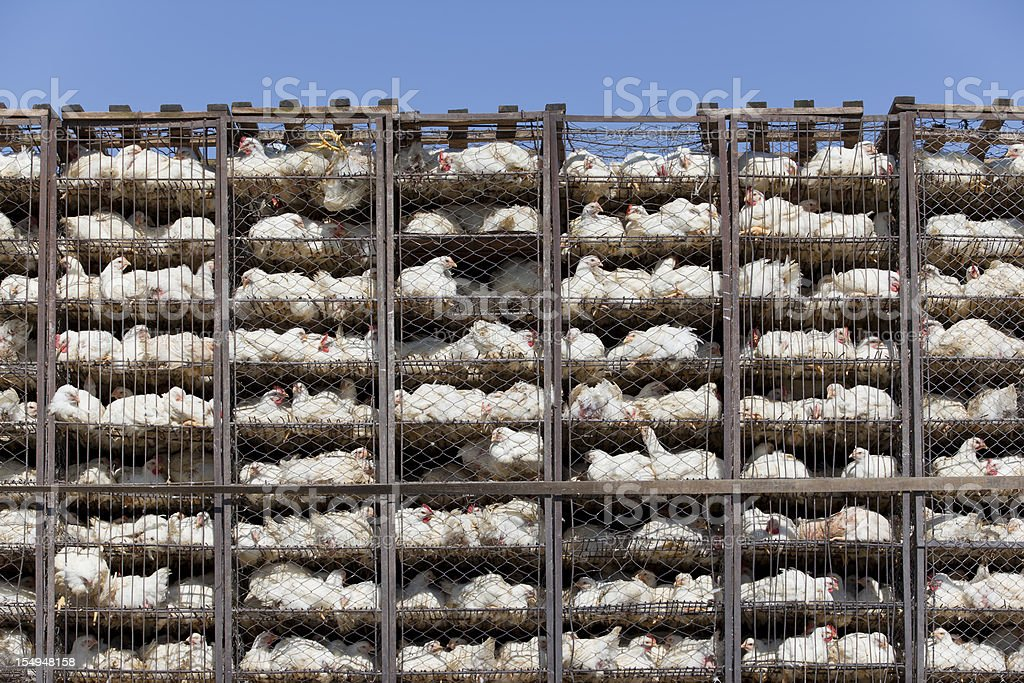 Chicken in battery cage under bad condition stock photo