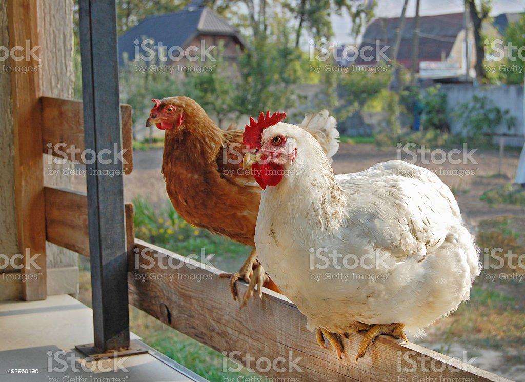 Chicken in garden stock photo