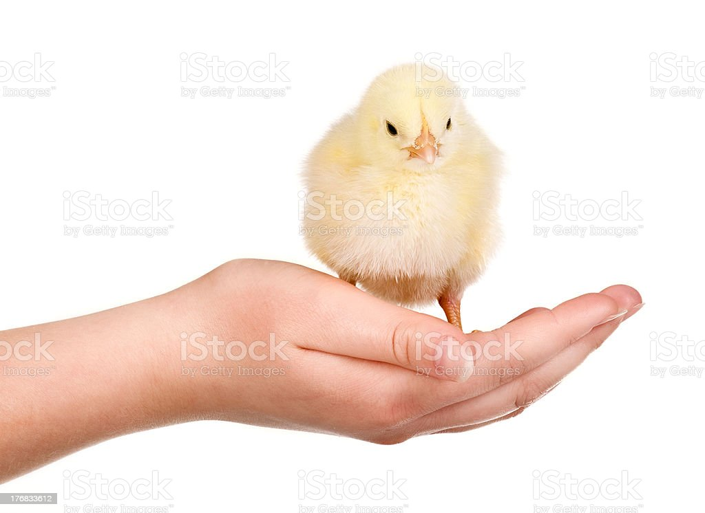 Chicken in hand royalty-free stock photo