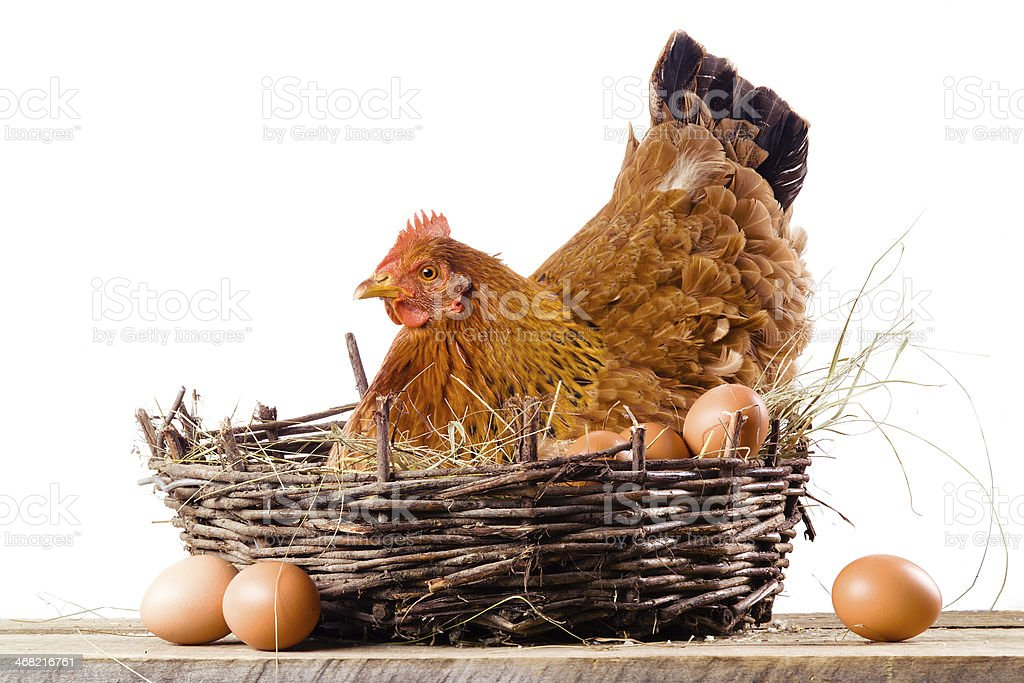 Chicken in nest with eggs isolated on white stock photo
