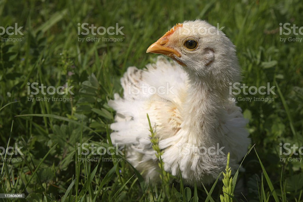 Chicken in the grass royalty-free stock photo