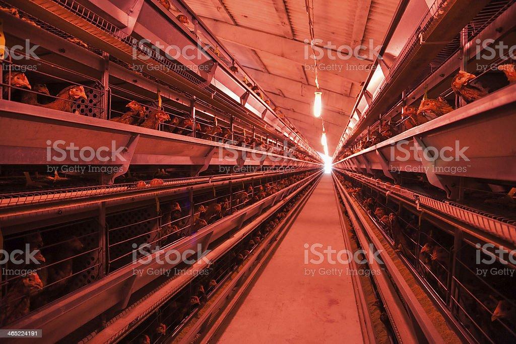 chicken incubator stock photo