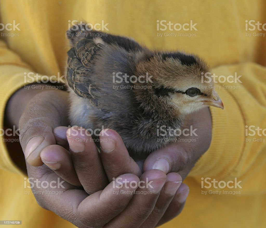 Chicken Little royalty-free stock photo