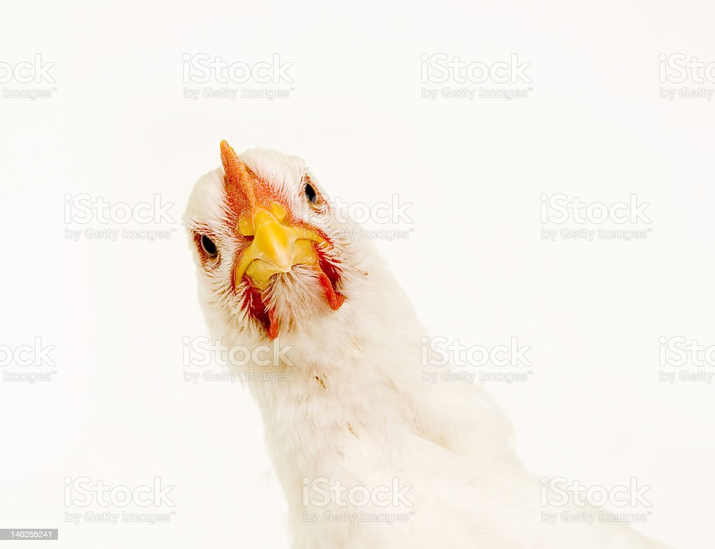 Chicken looking at camera on white background stock photo