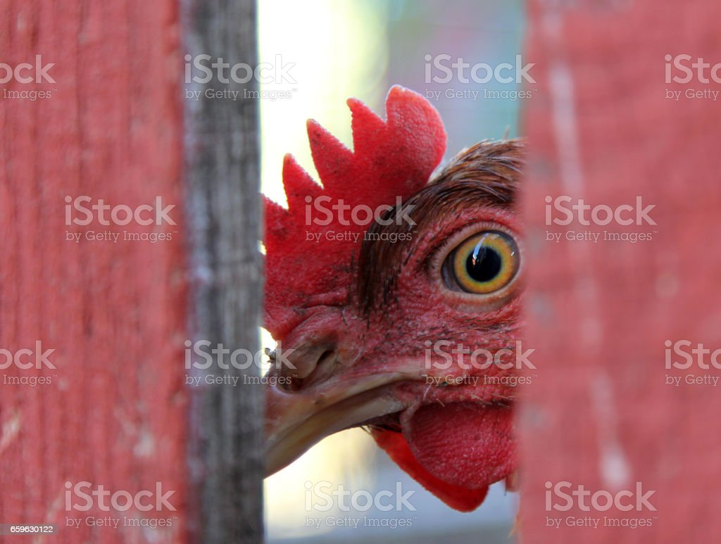 Chicken looking from behind a fence stock photo