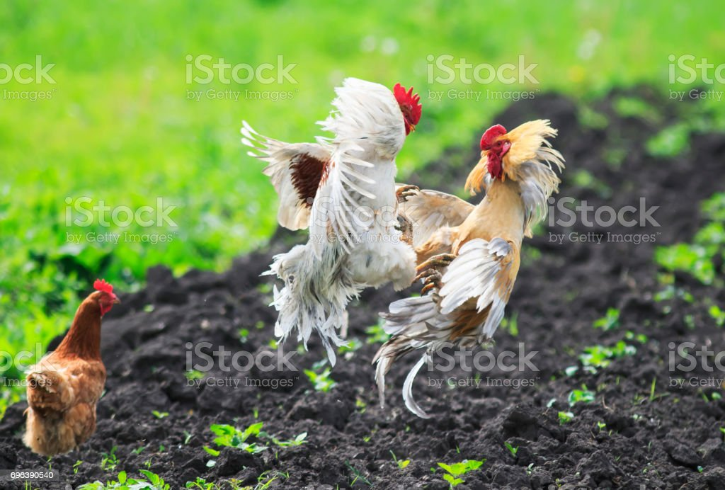 chicken looks like two young lively cock fight over it stock photo