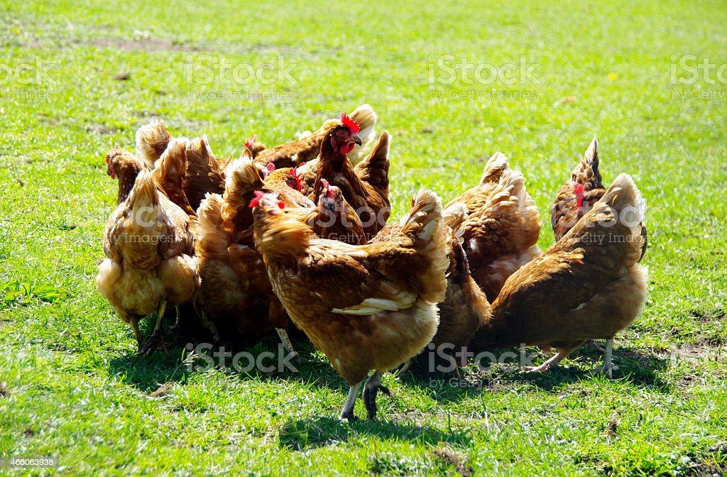 Chicken on a farm stock photo