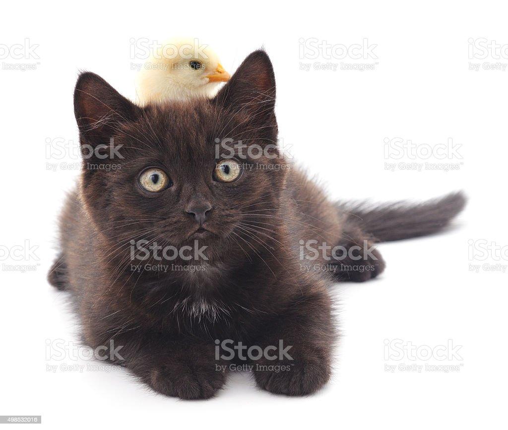 Chicken on kitten. stock photo