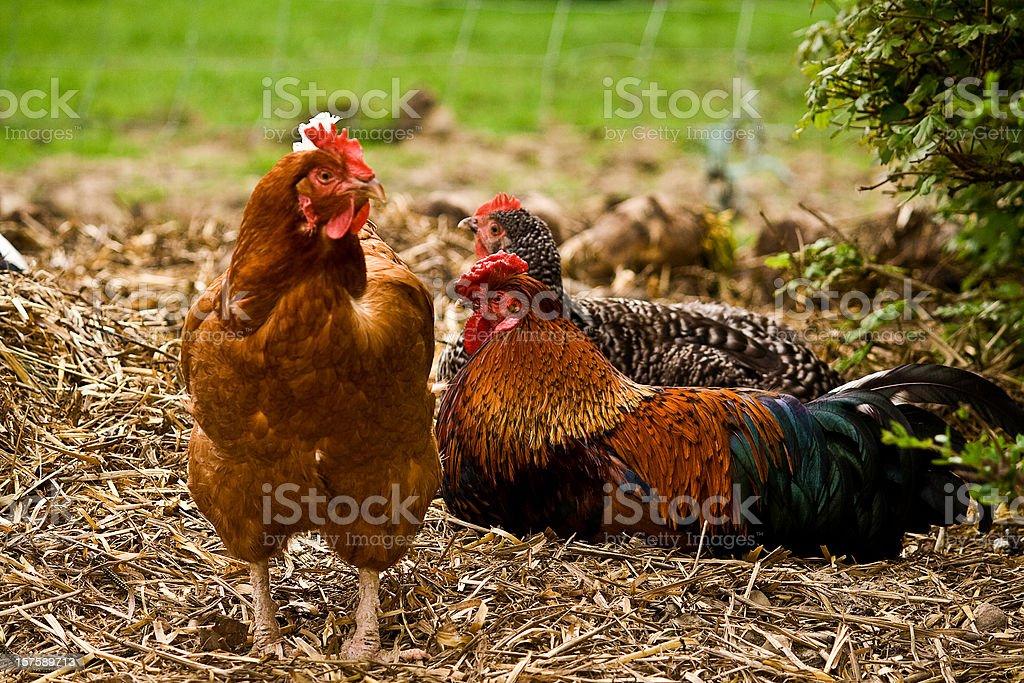 Chicken on straw royalty-free stock photo