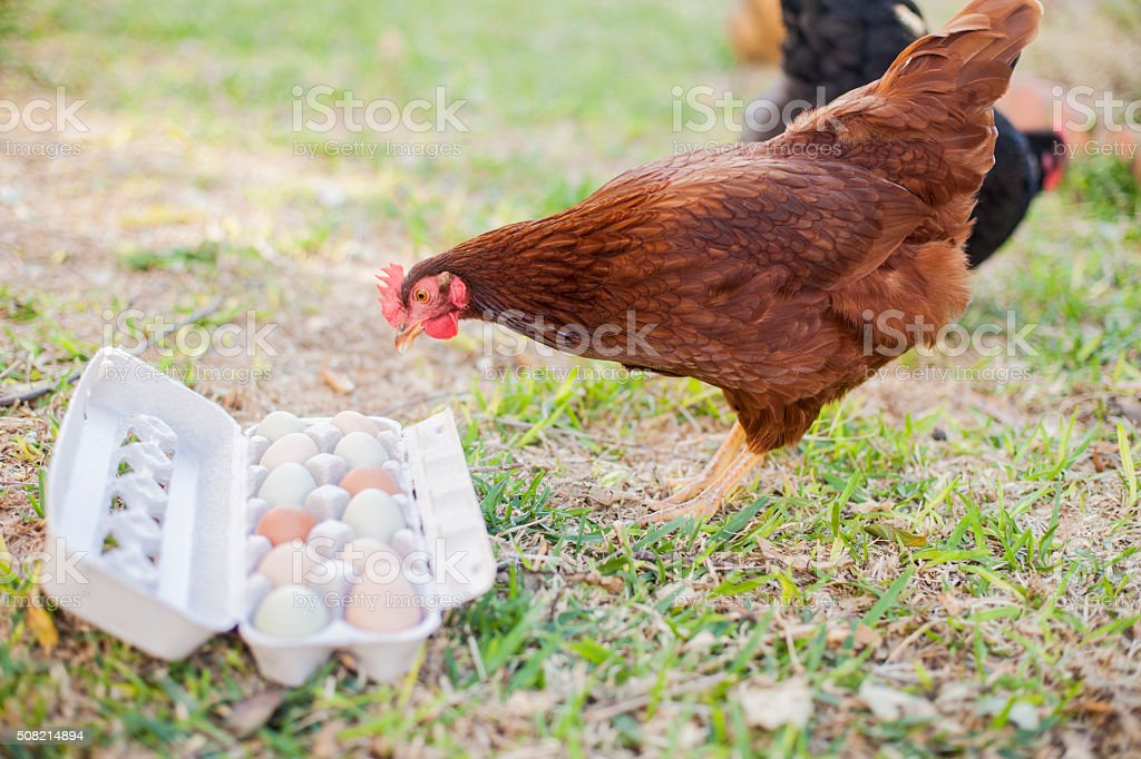 Chicken or the Egg stock photo