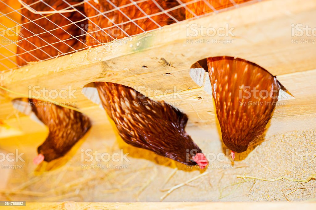 Chicken pecking food. stock photo