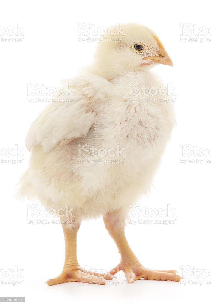 Pollo foto de stock libre de derechos