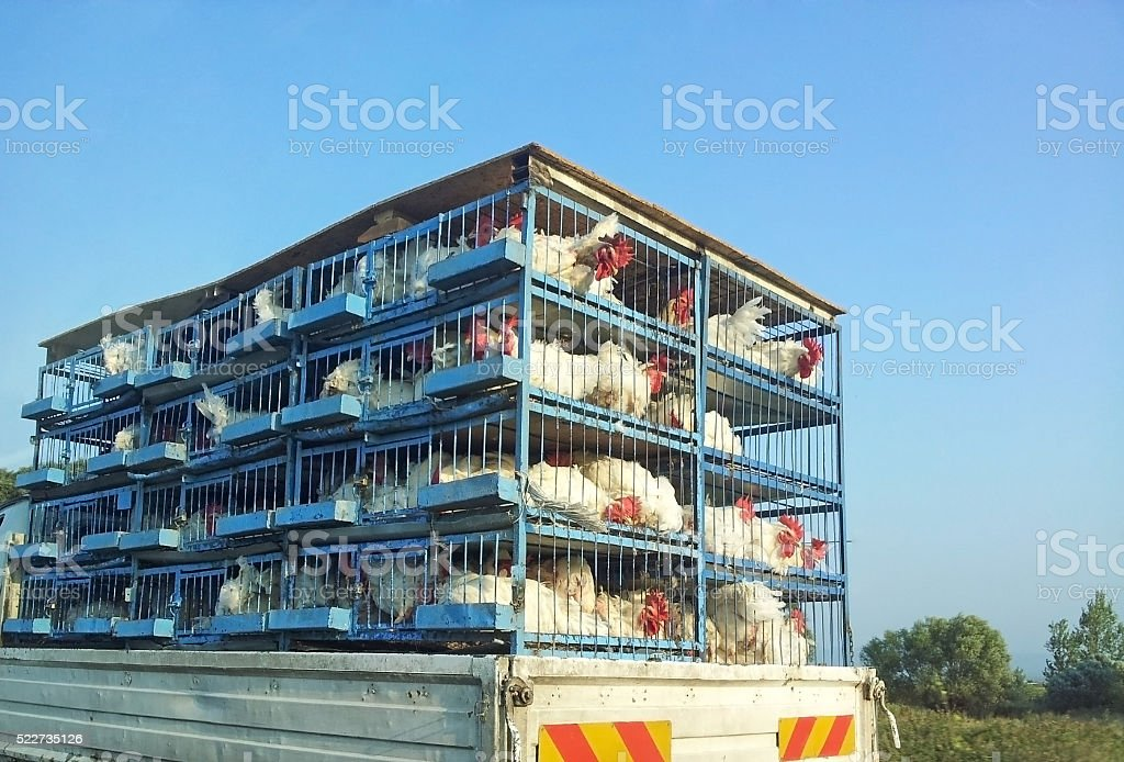 Chicken production company transporting the cages stock photo