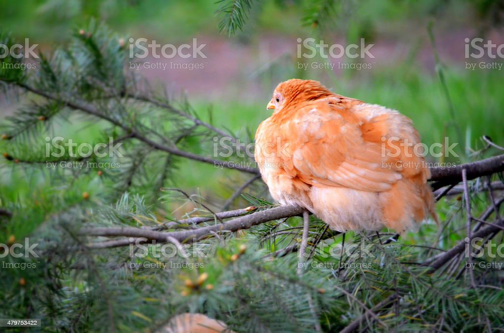 Chicken Roosting stock photo