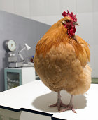 Chicken sat on laboratory table