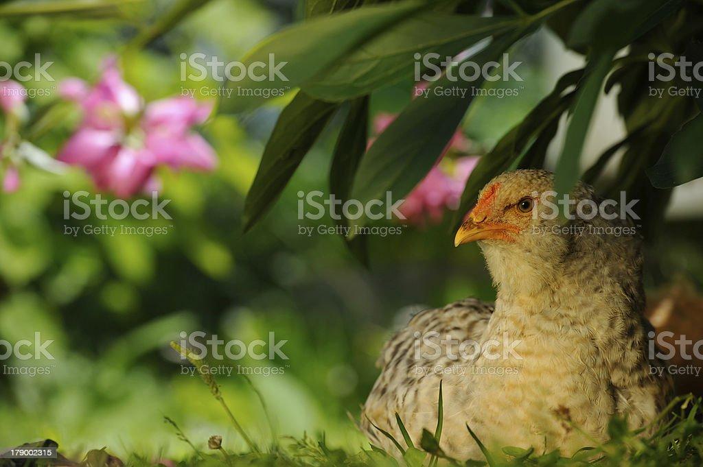 Chicken Sitting Under Bush royalty-free stock photo