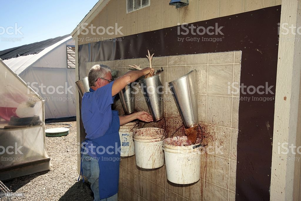 Chicken Slaughter royalty-free stock photo