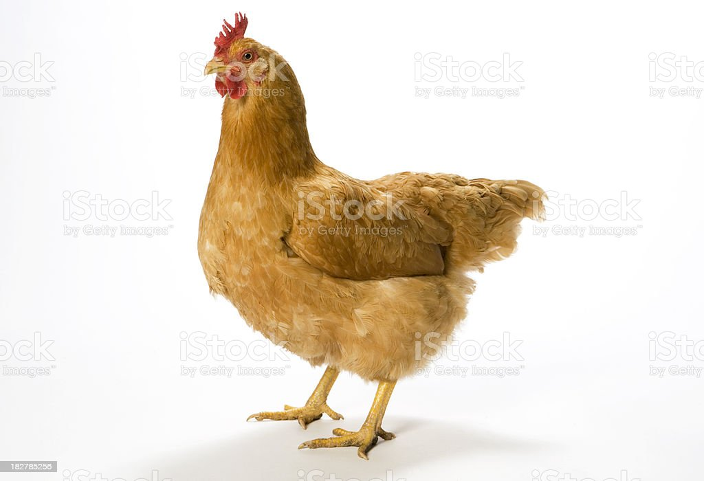 Chicken Standing on a light background. royalty-free stock photo