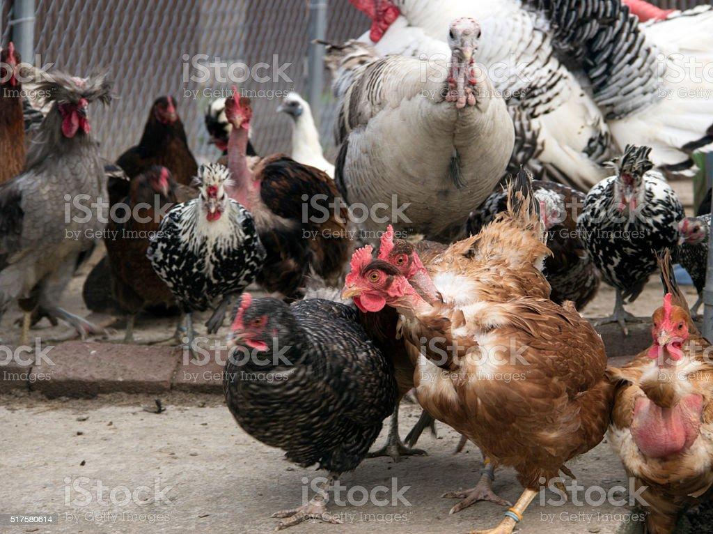 Chicken Stempede stock photo