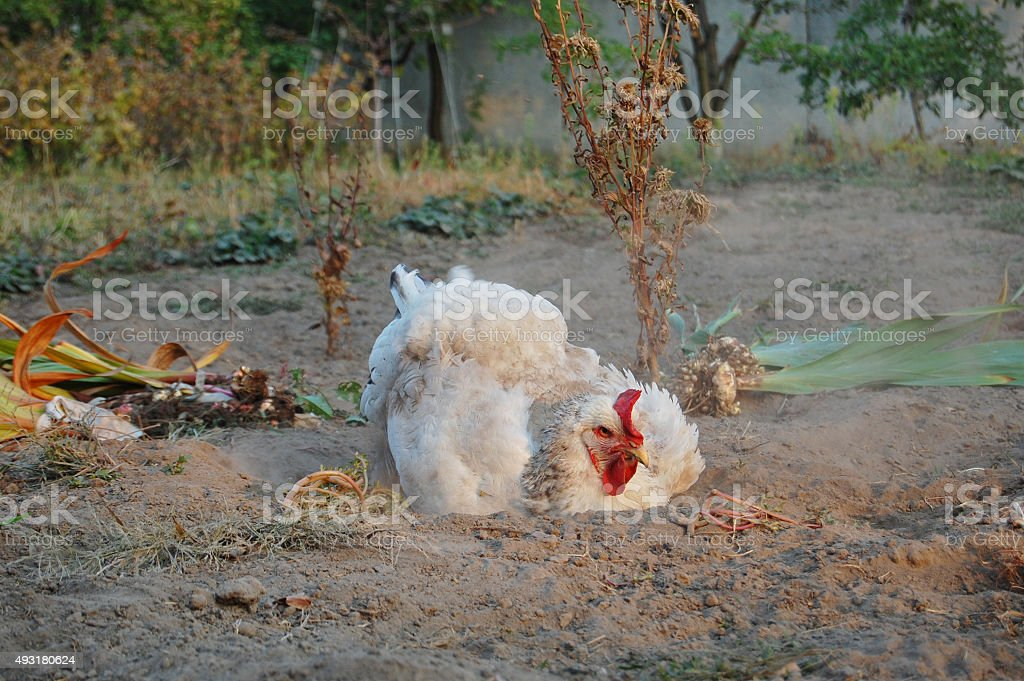 Chicken swimming in cinder stock photo