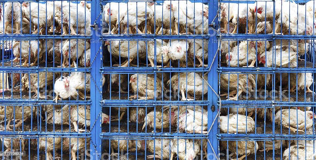 Chicken Transport stock photo