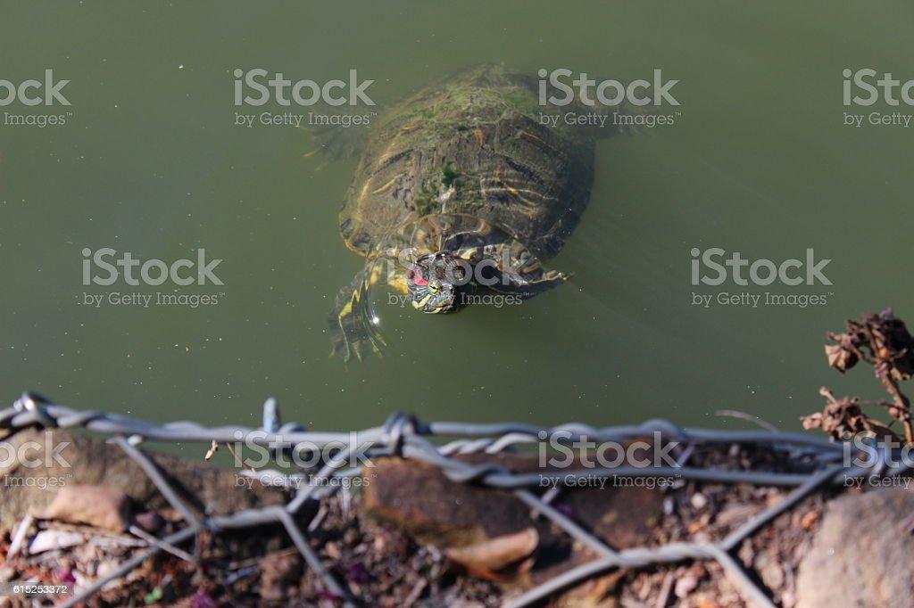 Chicken Turtle 1 stock photo