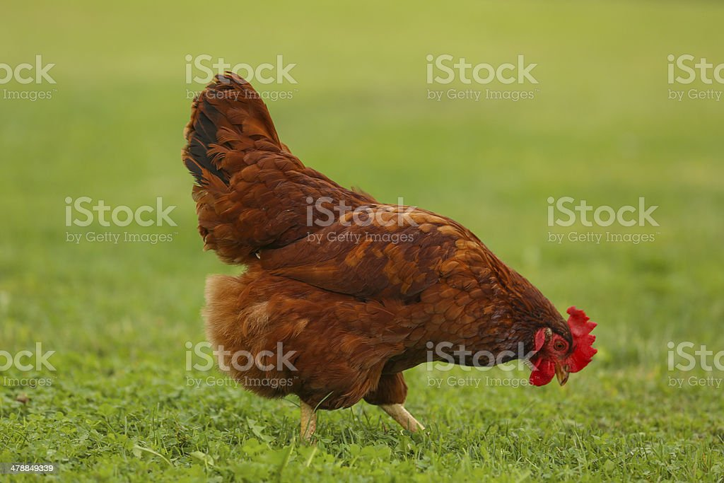 Chicken walking in the grass stock photo