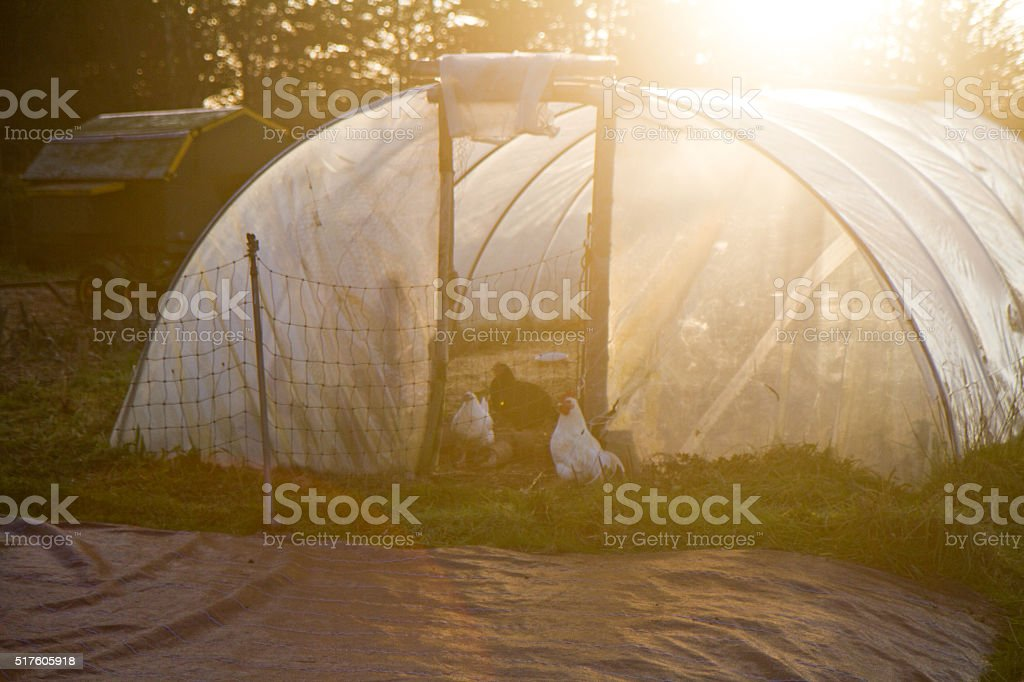 Chickens and A Greenhouse stock photo