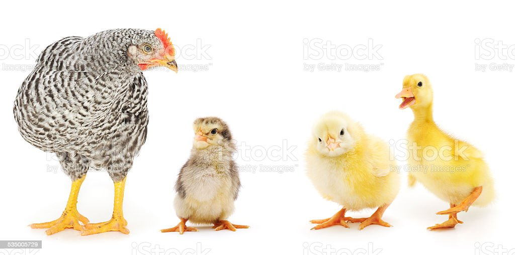chickens and duckling stock photo