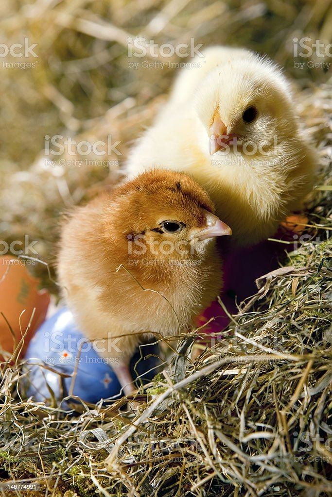 Chickens and eggs royalty-free stock photo