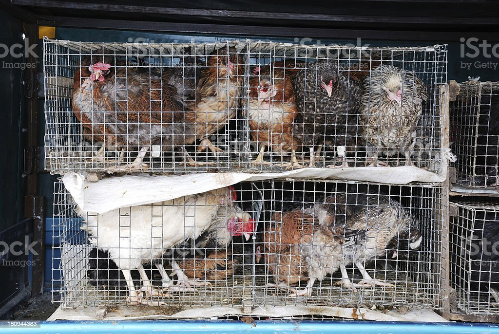 chickens and roosters in a cage stock photo